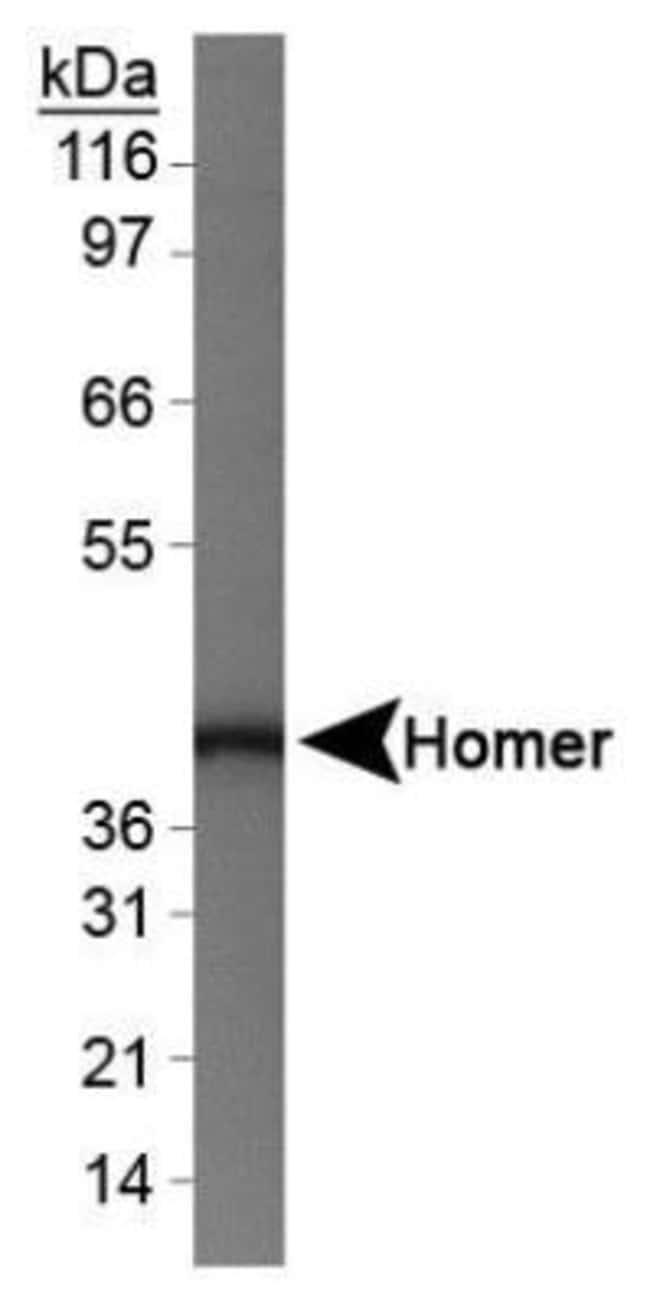 anti-HOMER1, Polyclonal, Novus Biologicals:Antibodies:Primary Antibodies