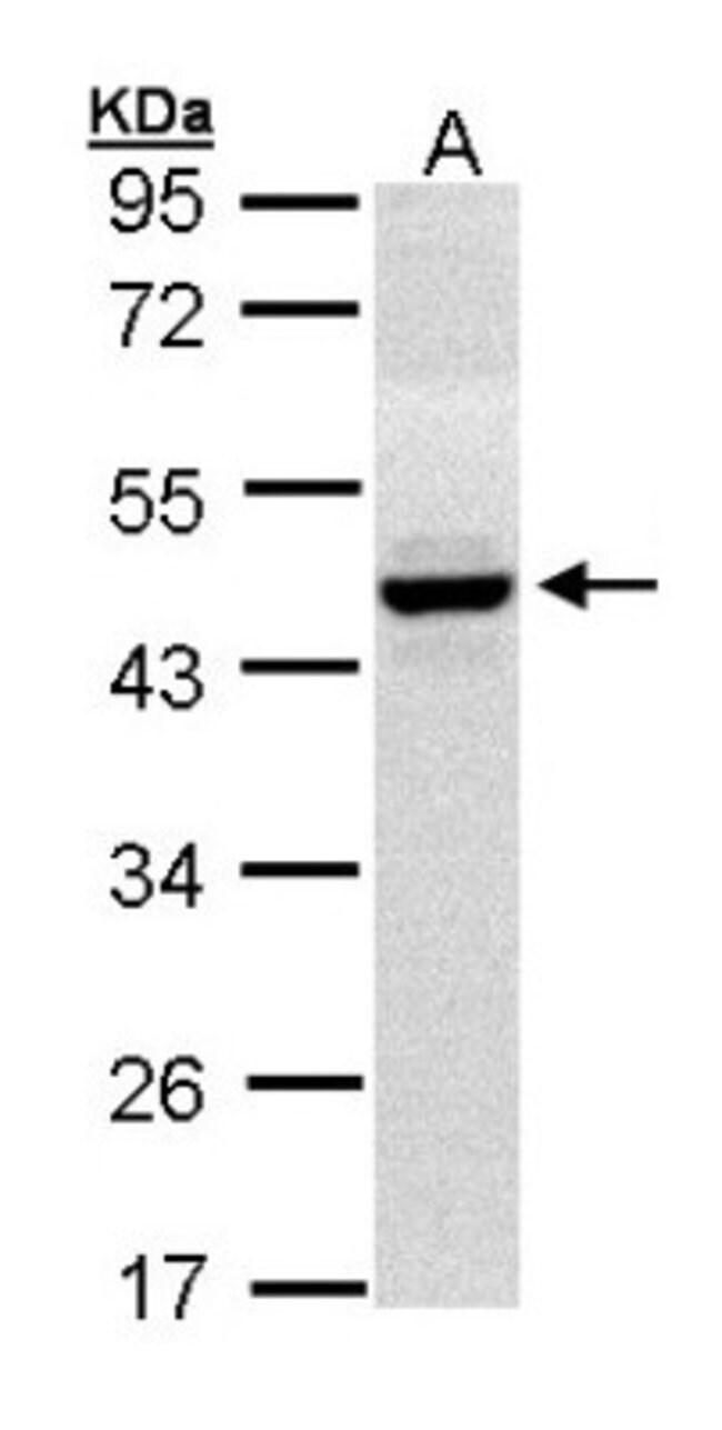 anti-HPD, Polyclonal, Novus Biologicals 0.1mg; Unlabeled:Life Sciences