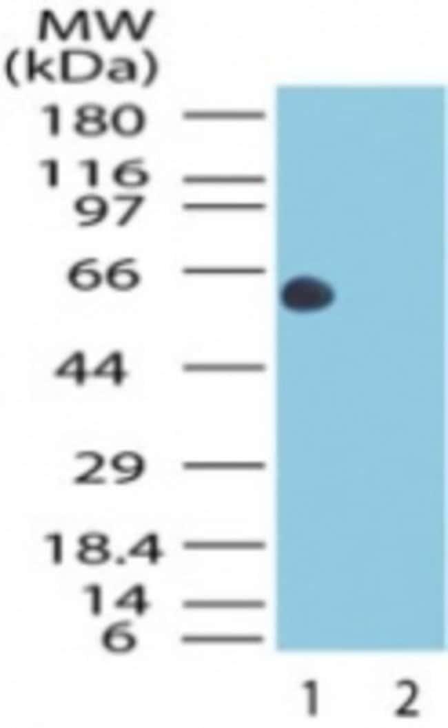 HSP60 Rabbit anti-Human, Polyclonal, Novus Biologicals:Antibodies:Primary