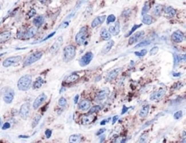 anti-HSP60, Polyclonal, Novus Biologicals:Antibodies:Primary Antibodies