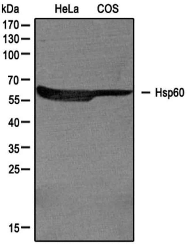 HSP60 Rabbit anti-Human, Mouse, Polyclonal, Novus Biologicals:Antibodies:Primary