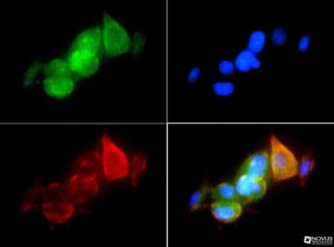 anti-HSP90 alpha, Polyclonal, Novus Biologicals 0.025mL; Unlabeled:Life