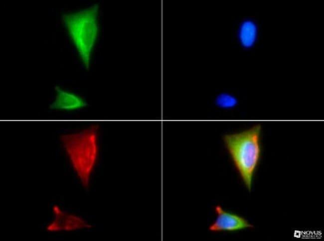 anti-HSP90 beta, Polyclonal, Novus Biologicals:Antibodies:Primary Antibodies