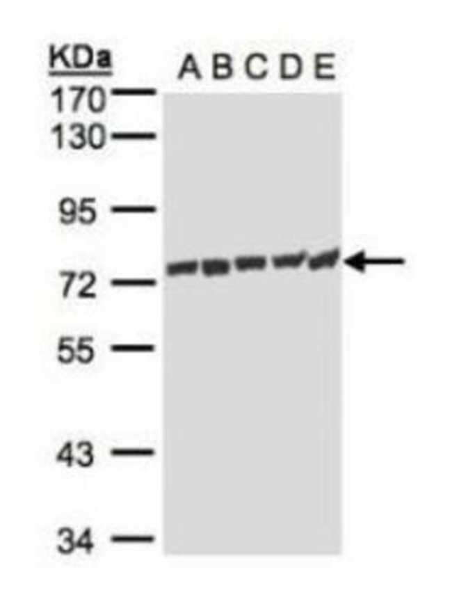 anti-HspA1L, Polyclonal, Novus Biologicals 0.1mg; Unlabeled:Life Sciences