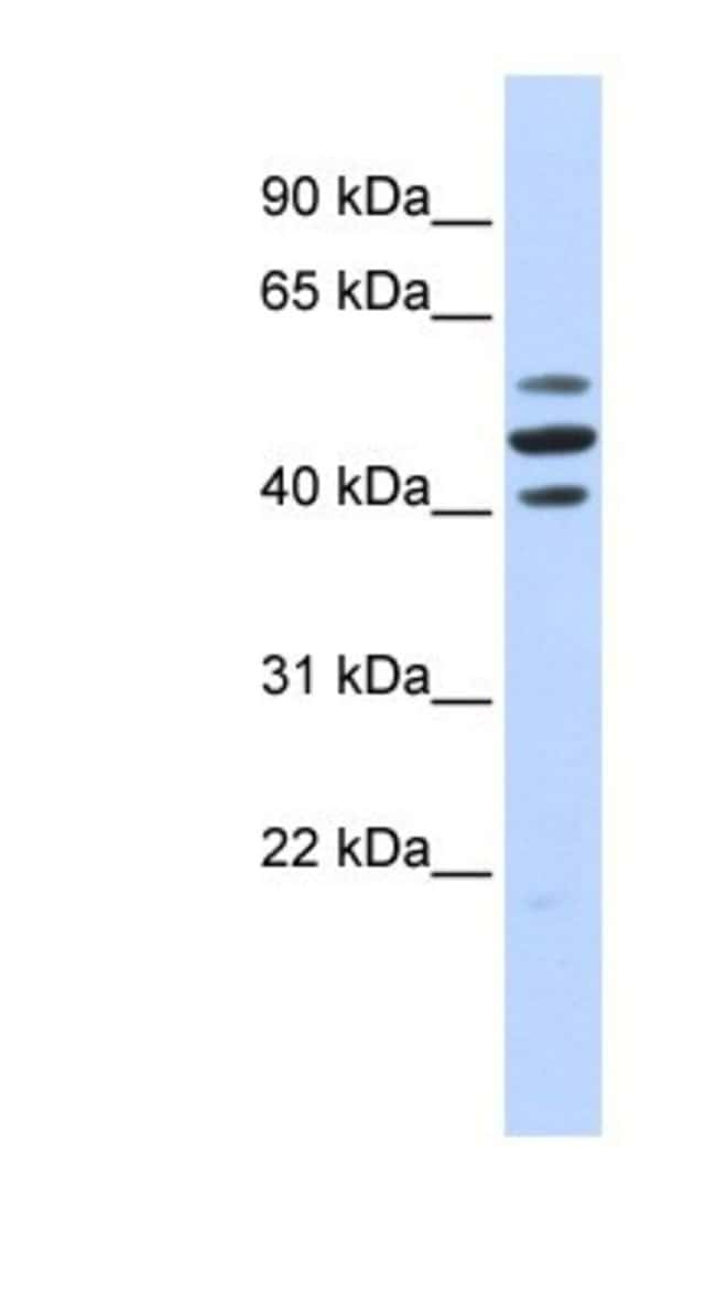 HspBAP1 Rabbit anti-Human, Polyclonal, Novus Biologicals 20µL; Unlabeled