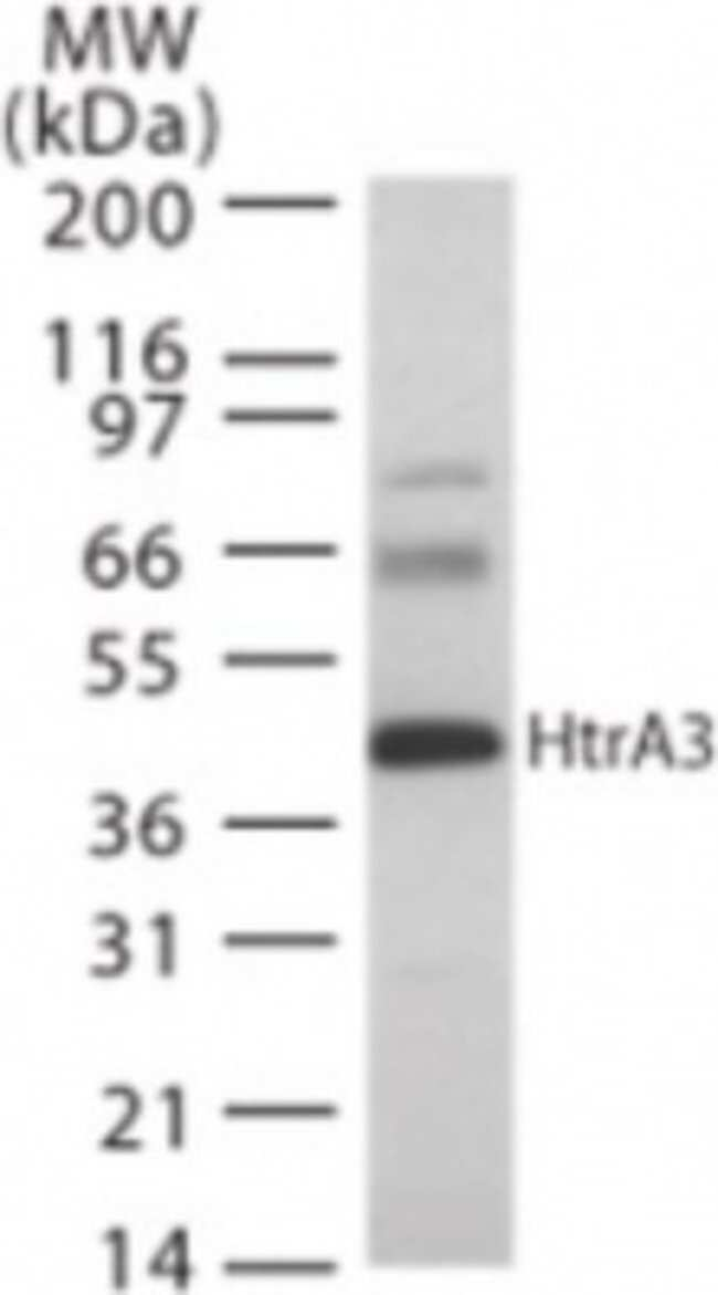 anti-HtrA3, Polyclonal, Novus Biologicals:Antibodies:Primary Antibodies
