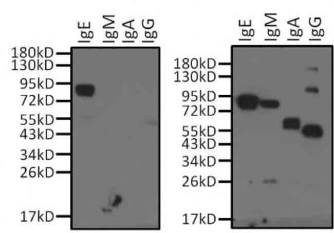 anti-Human IgE, Clone: Fc-2001, Novus Biologicals 0.1mg; Unlabeled:Life
