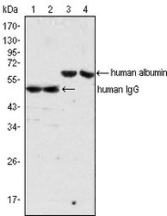 anti-Human IgG, Clone: 4D2D9G8, Novus Biologicals 0.025mL; Unlabeled:Life