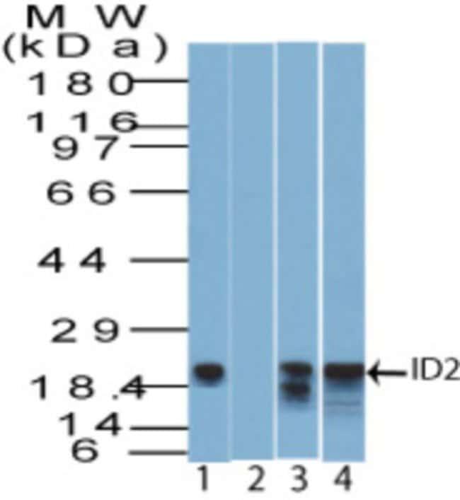 anti-ID2, Polyclonal, Novus Biologicals:Antibodies:Primary Antibodies