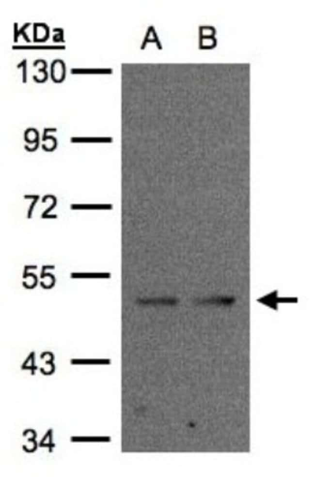 anti-IFRD1, Polyclonal, Novus Biologicals 0.1mL; Unlabeled:Life Sciences