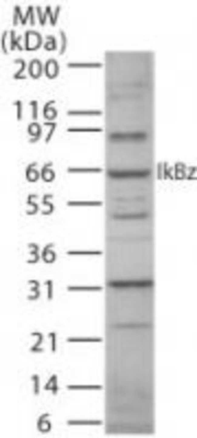 anti-IKB zeta, Polyclonal, Novus Biologicals:Antibodies:Primary Antibodies