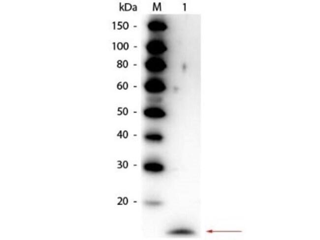 anti-IL-17/IL-17A, Polyclonal, Novus Biologicals 0.1mg; Unlabeled:Life