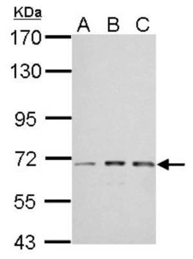 anti-IMP2/IGF2BP2, Polyclonal, Novus Biologicals 0.1mg; Unlabeled:Antibodies