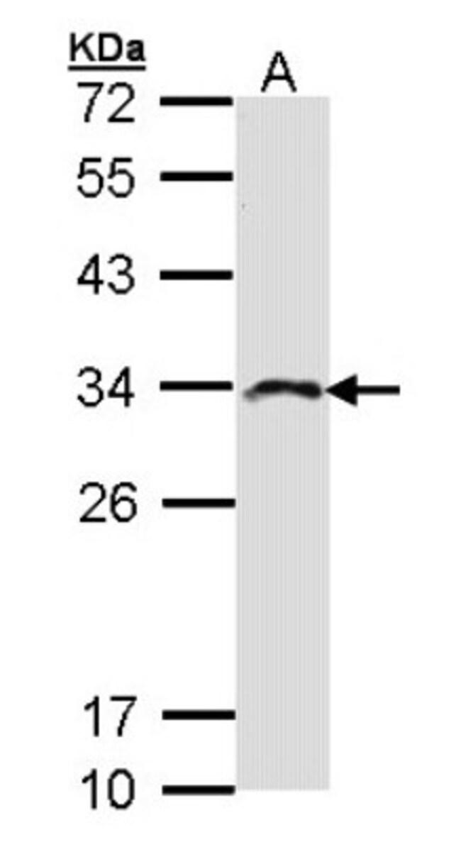 anti-IMPA2, Polyclonal, Novus Biologicals 0.1mL; Unlabeled:Life Sciences