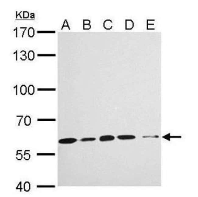 anti-Importin alpha 3/KPNA4, Polyclonal, Novus Biologicals 0.1mL; Unlabeled:Life