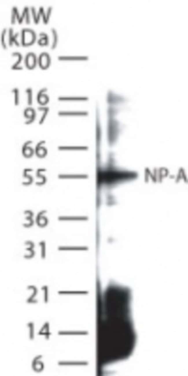 anti-Influenza A H1N1 Nucleoprotein, Polyclonal, Novus Biologicals:Antibodies:Primary