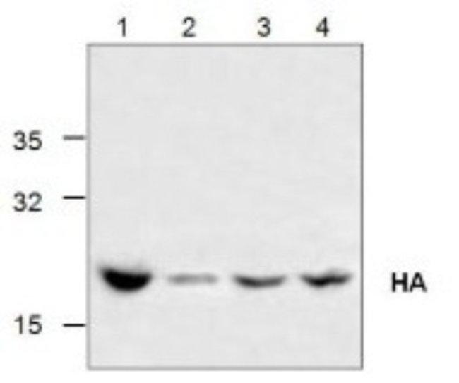 anti-Influenza A Virus Hemagglutinin, Polyclonal, Novus Biologicals 0.1mg;