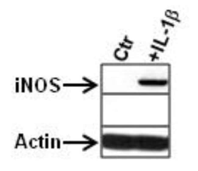 anti-iNOS, Polyclonal, Novus Biologicals:Antibodies:Primary Antibodies