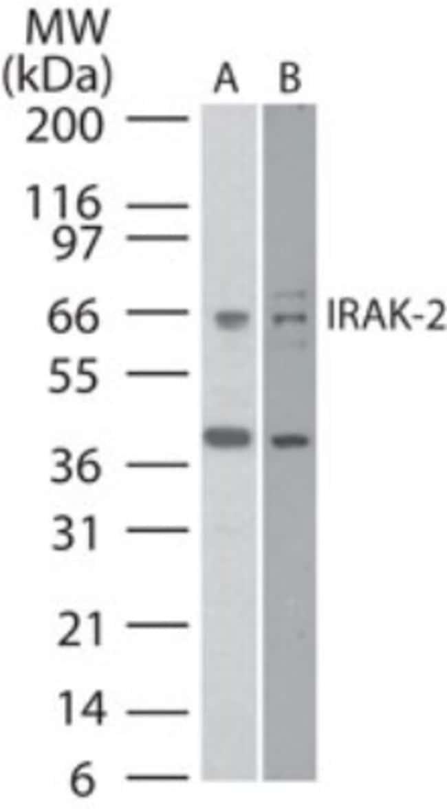 anti-IRAK2, Polyclonal, Novus Biologicals:Antibodies:Primary Antibodies