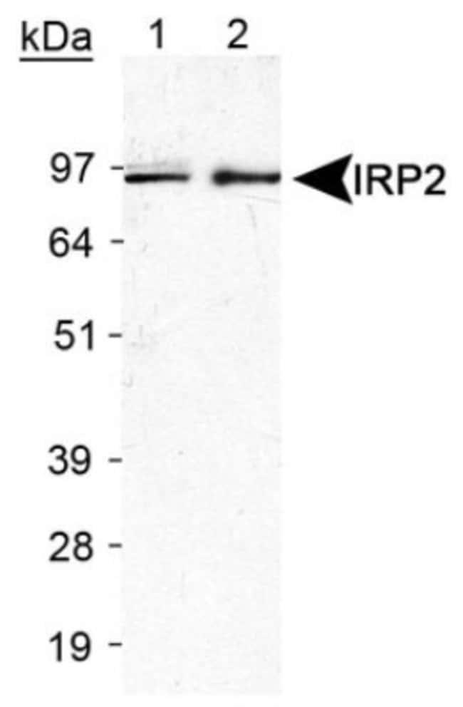 anti-IRP2, Polyclonal, Novus Biologicals:Antibodies:Primary Antibodies