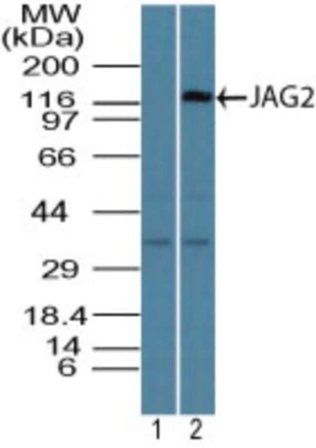 anti-Jagged 2, Polyclonal, Novus Biologicals:Antibodies:Primary Antibodies