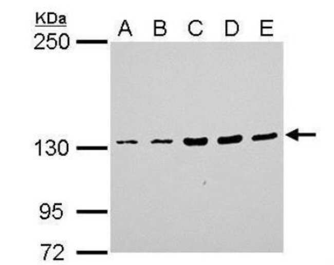 anti-Jak1, Polyclonal, Novus Biologicals 0.1mL; Unlabeled:Life Sciences