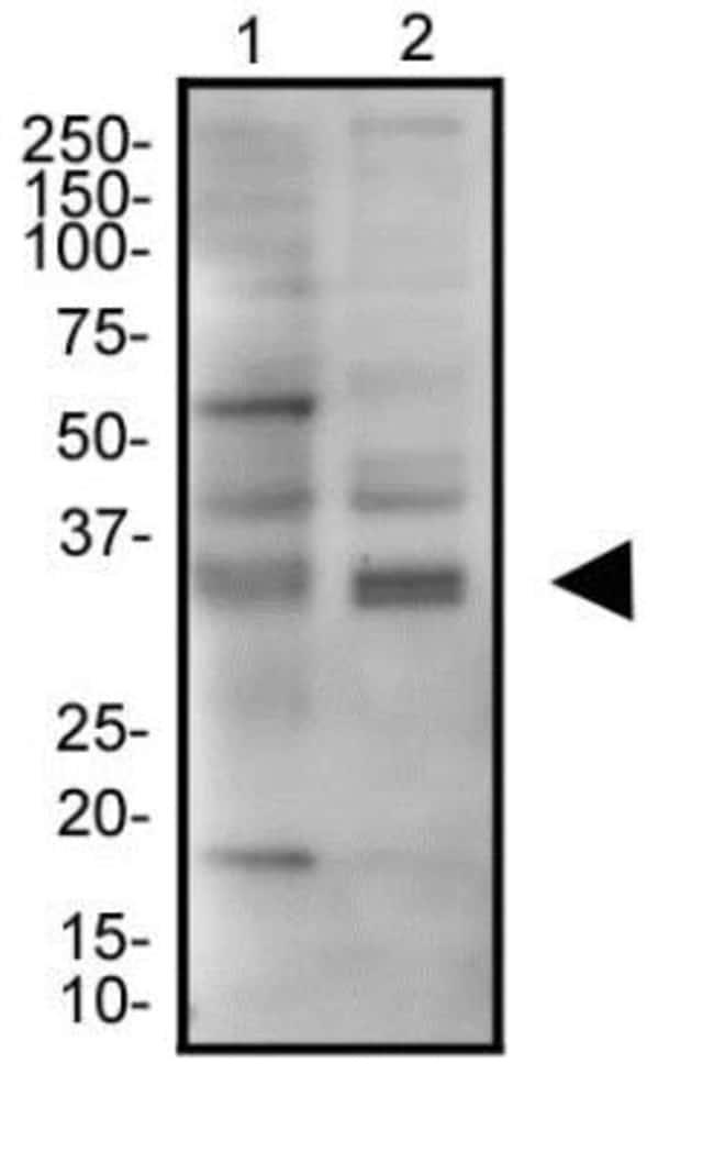 anti-JAMP, Polyclonal, Novus Biologicals:Antibodies:Primary Antibodies