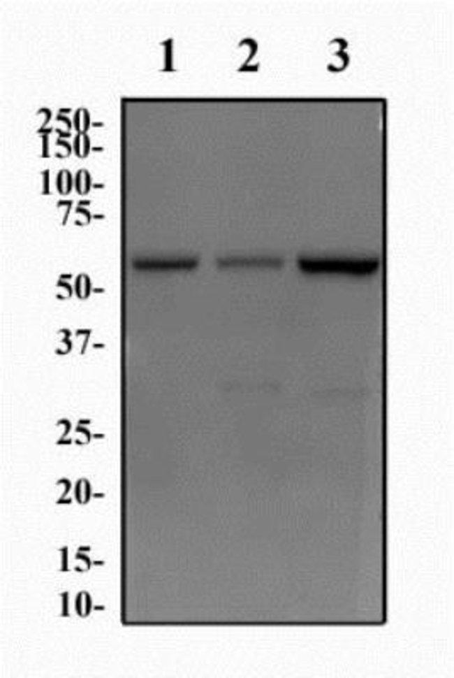 anti-JMJD2D, Polyclonal, Novus Biologicals:Antibodies:Primary Antibodies