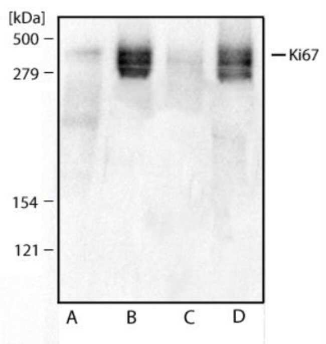 anti-Ki-67/MKI67, Polyclonal, Novus Biologicals:Antibodies:Primary Antibodies