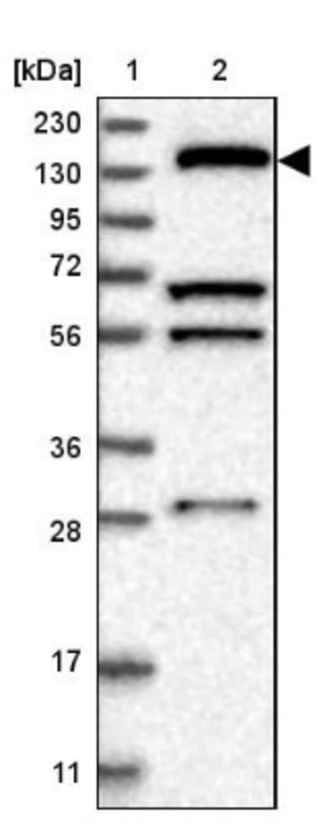 KIF1C Rabbit anti-Human, Polyclonal, Novus Biologicals 0.1mL; Unlabeled:Life
