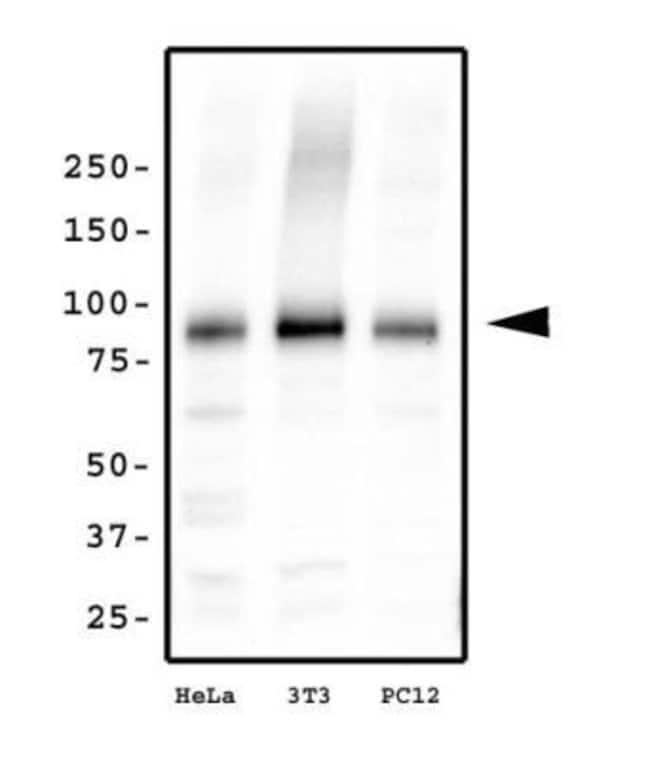 anti-Kif2a, Polyclonal, Novus Biologicals:Antibodies:Primary Antibodies