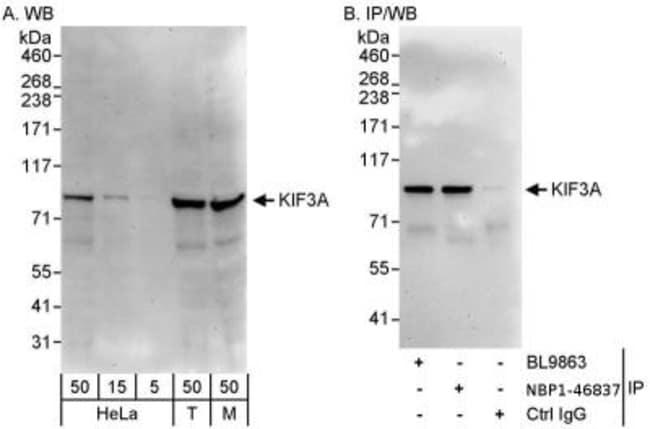 anti-KIF3A, Polyclonal, Novus Biologicals 0.1mg; Unlabeled:Life Sciences