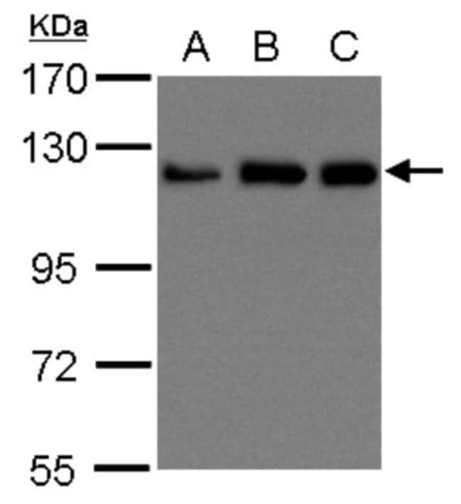 anti-Kinesin 5B, Polyclonal, Novus Biologicals 0.1mL; Unlabeled:Life Sciences