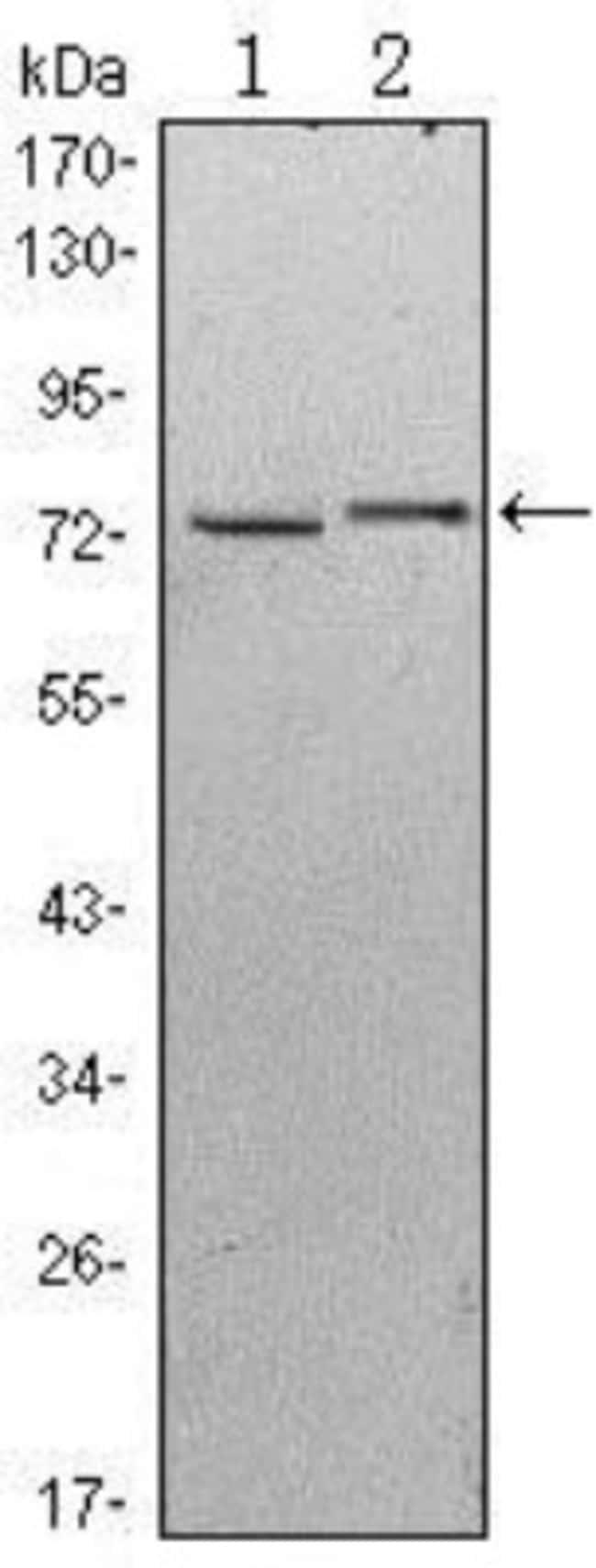 anti-KLHL13, Clone: 8D1, Novus Biologicals 0.1mL; Unlabeled:Life Sciences