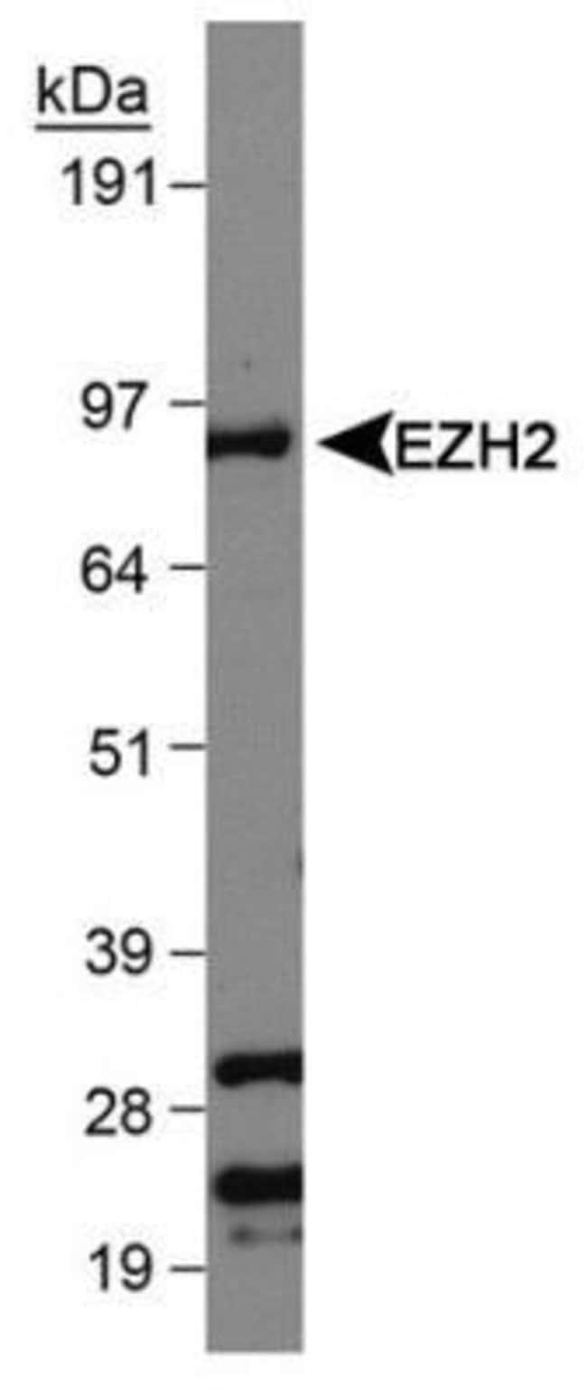 anti-EZH2/KMT6, Polyclonal, Novus Biologicals:Antibodies:Primary Antibodies