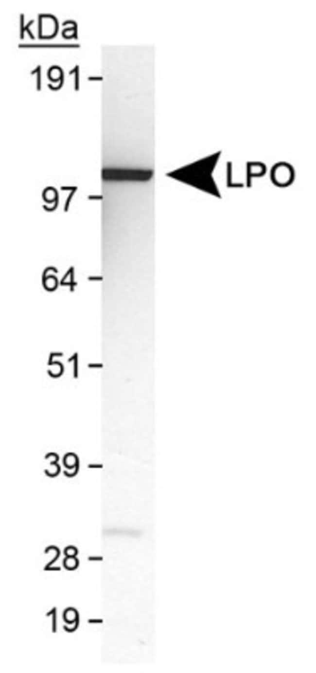 anti-Lactoperoxidase, Polyclonal, Novus Biologicals:Antibodies:Primary