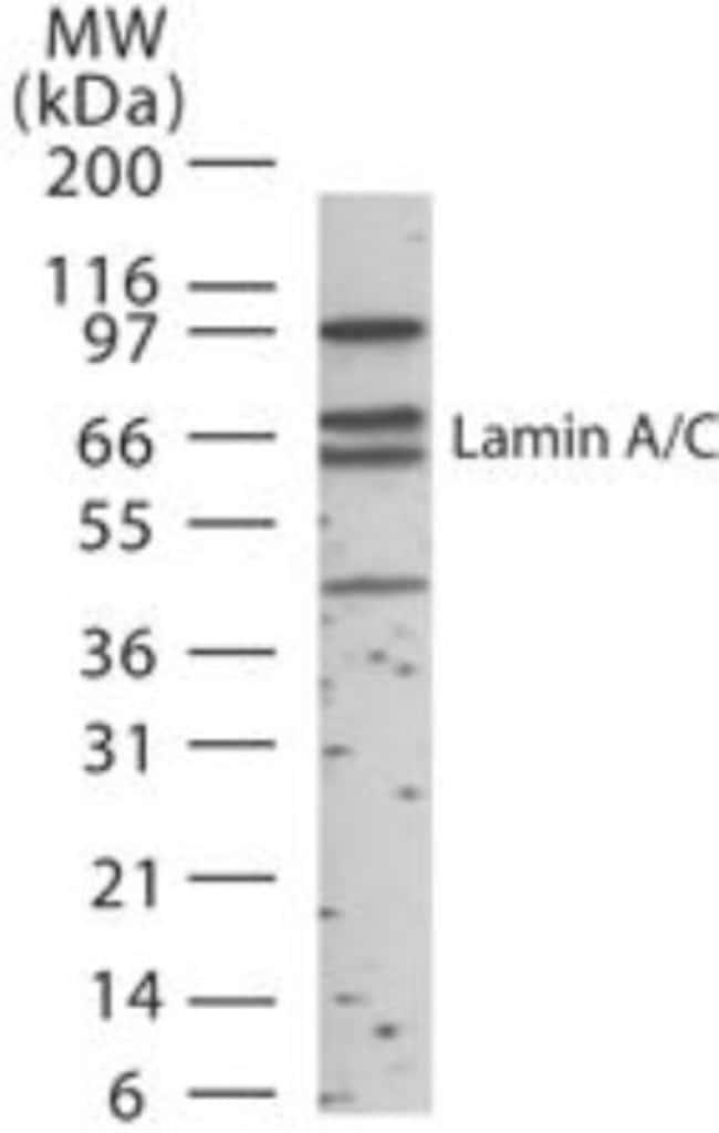 anti-Lamin A  C, Polyclonal, Novus Biologicals:Antibodies:Primary Antibodies