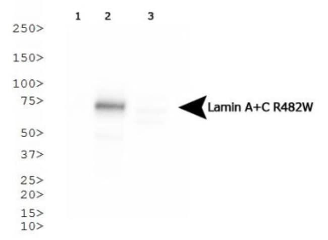 anti-Lamin A + C R482W, Clone: 5H8-B4, Novus Biologicals 0.025mL; Unlabeled:Life