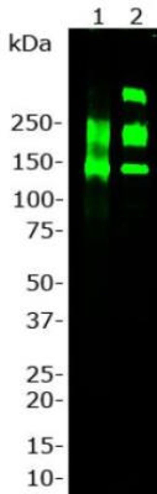 Laminin Rabbit anti-Human, Mouse, Rat, Polyclonal, Novus Biologicals:Antibodies:Primary