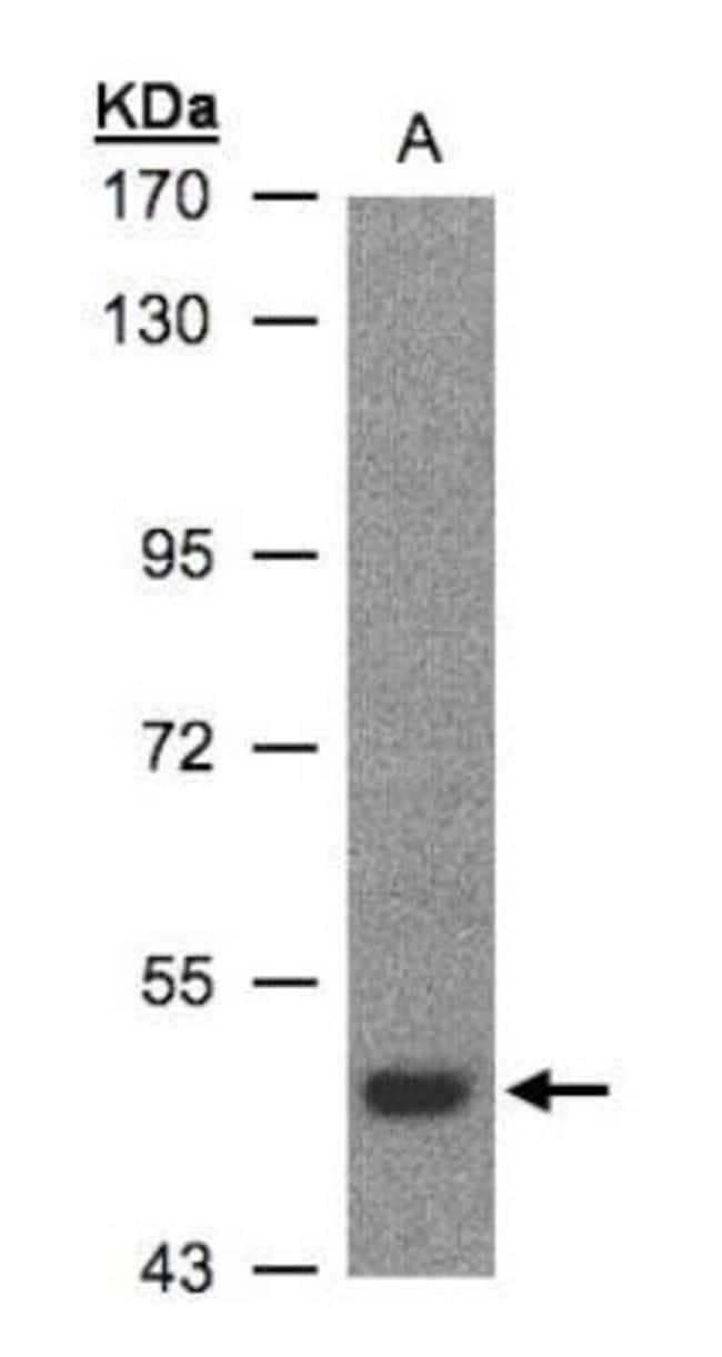anti-LBP, Polyclonal, Novus Biologicals 0.1mL; Unlabeled:Life Sciences