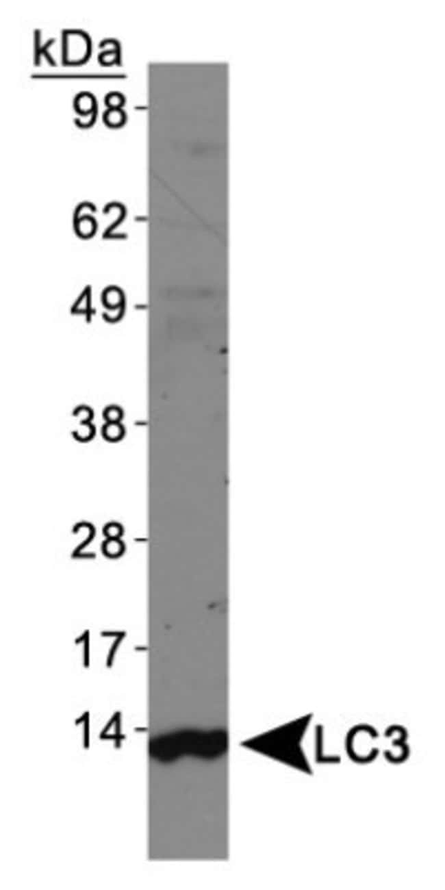 anti-LC3/MAP1LC3A, Polyclonal, Novus Biologicals 0.1mL; Unlabeled:Life