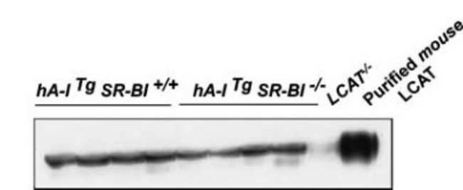 anti-LCAT, Polyclonal, Novus Biologicals:Antibodies:Primary Antibodies