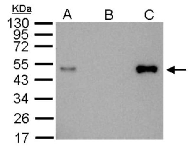anti-LDB1, Polyclonal, Novus Biologicals 0.1mL; Unlabeled:Antibodies