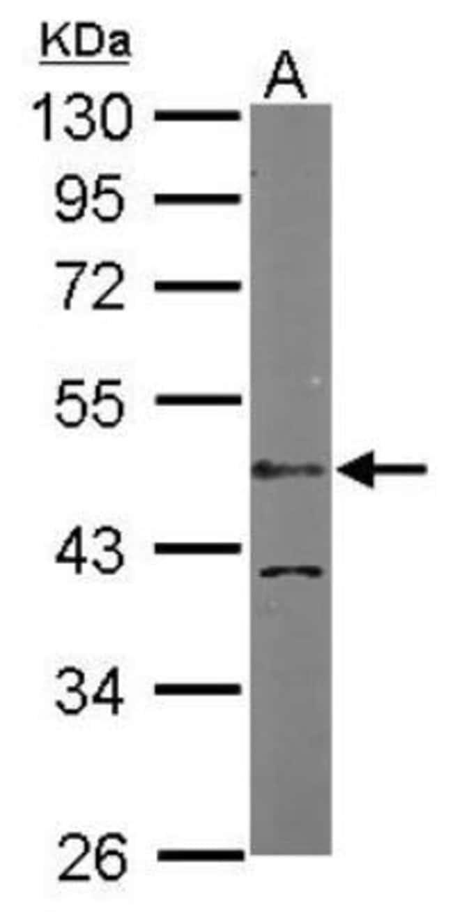 anti-LDB1, Polyclonal, Novus Biologicals 0.1mL; Unlabeled:Life Sciences