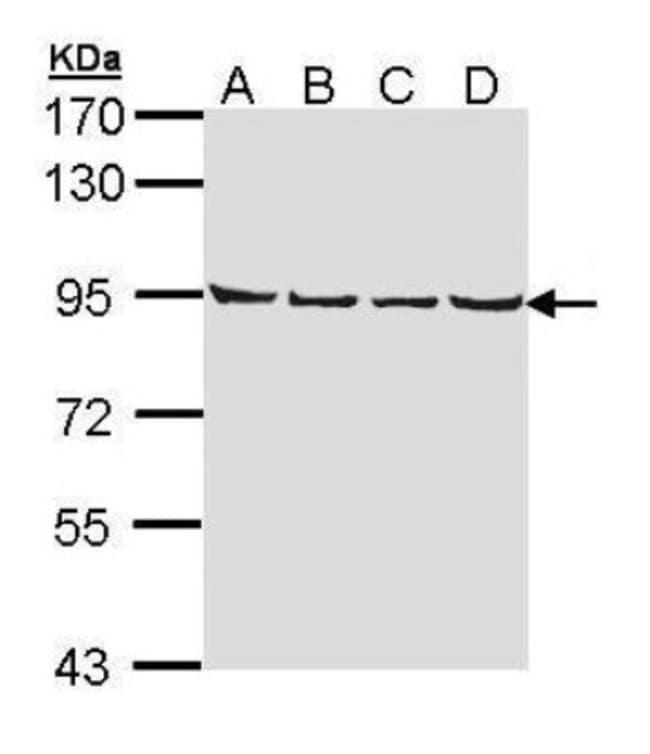 anti-LETM1, Polyclonal, Novus Biologicals 0.1mg; Unlabeled:Life Sciences