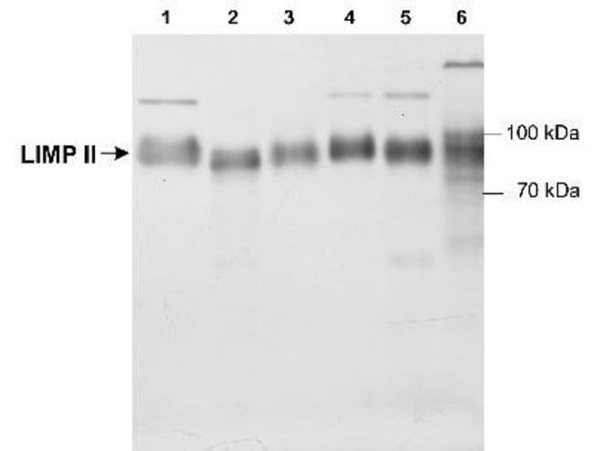 LIMPII/SR-B2 Rabbit anti-Human, Mouse, Rat, Canine, Primate, Polyclonal,