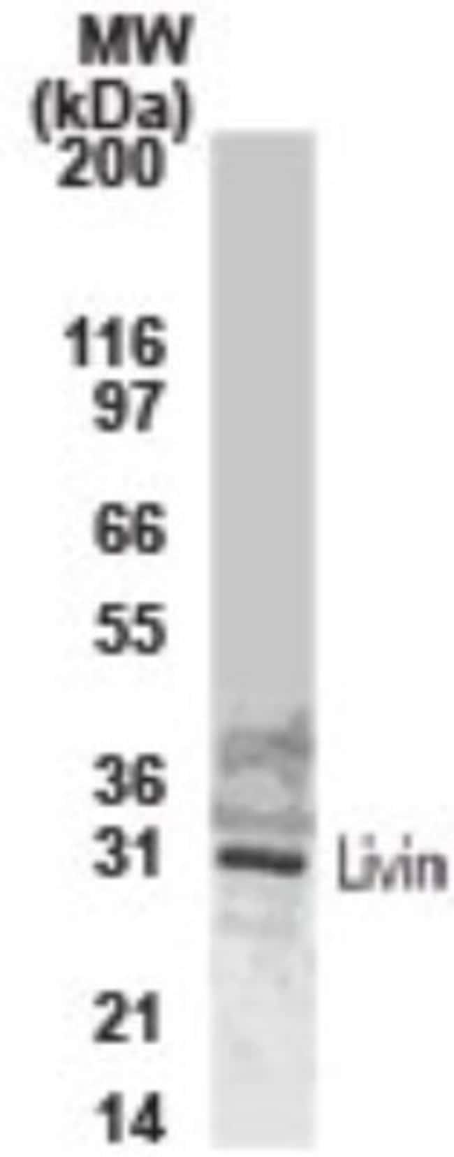 anti-Livin, Polyclonal, Novus Biologicals:Antibodies:Primary Antibodies