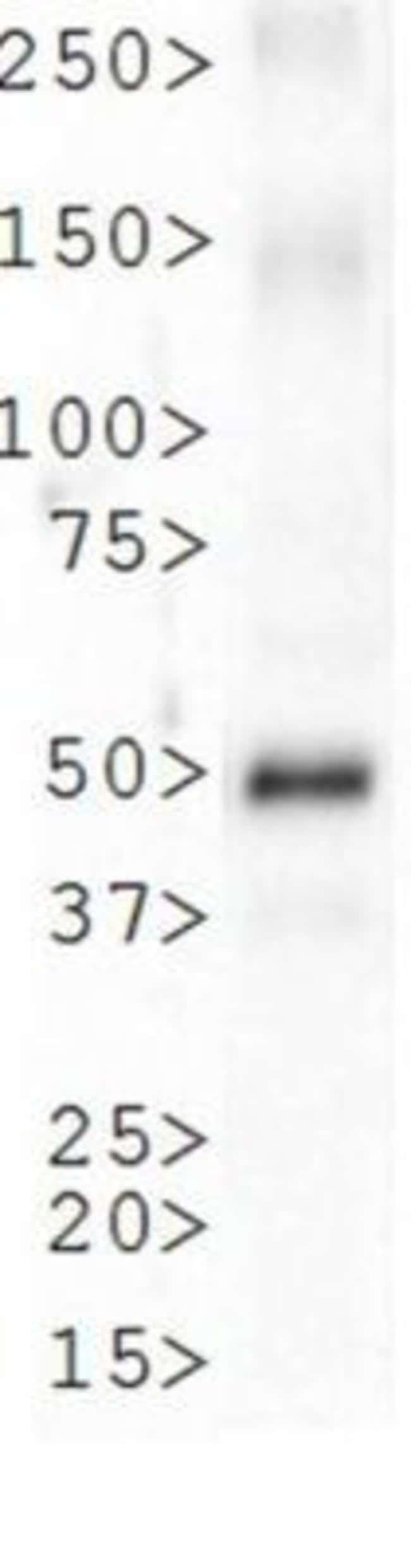 anti-LKB1/STK11, Polyclonal, Novus Biologicals:Antibodies:Primary Antibodies