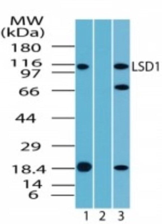 anti-LSD1, Polyclonal, Novus Biologicals:Antibodies:Primary Antibodies