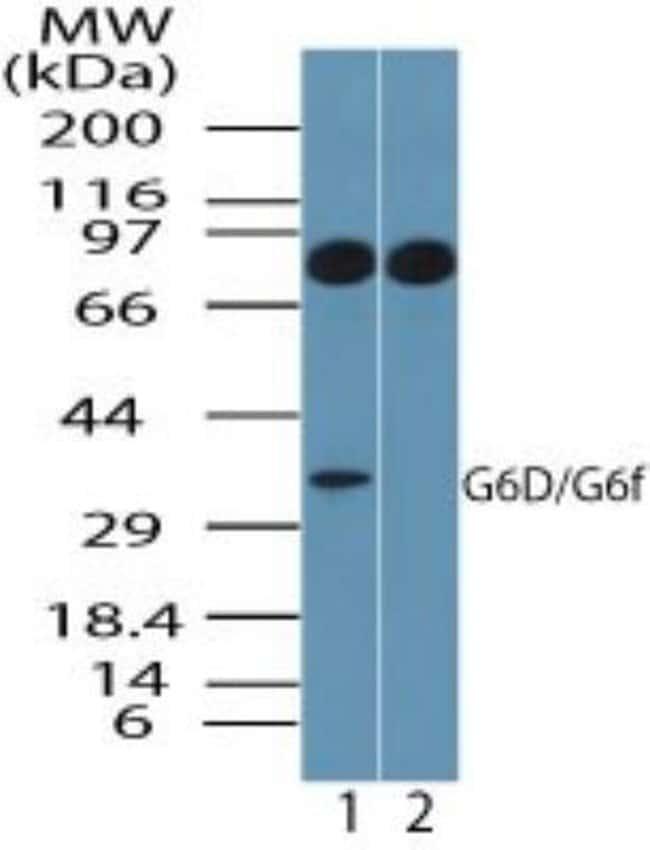 anti-Ly-6G6F, Polyclonal, Novus Biologicals:Antibodies:Primary Antibodies